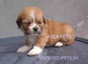 LHASA APSO PUPPS FOR SALE ASIA PETS  @  9911293906 @@@