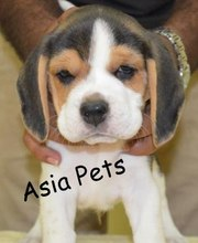 BEAGLE   PUPPS FOR SALE ASIA PETS  @  9911293906@@