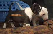 BULL TERRIER EXCELLENT QUALITY PUPPIES FOR SALE @ 9999865594