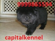 CHOW CHOW PUPPIES FOR SALE @ CAPITALKENNEL