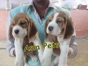 BEAGLE  PUPPS  FOR SALE