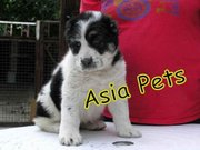 ALABAI PUPPIES FOR SALE 9911293906