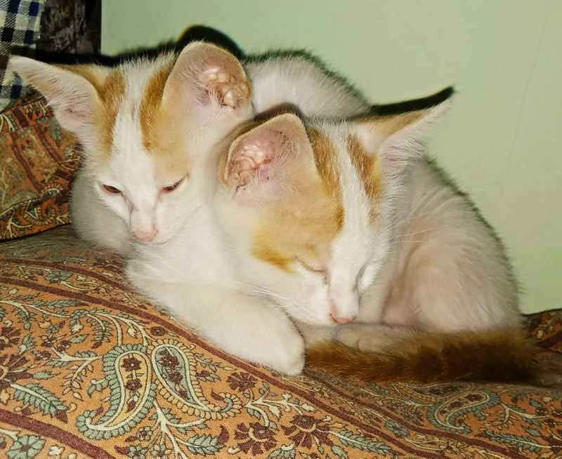 2 months old (male & female) kittens for adoption - Goa